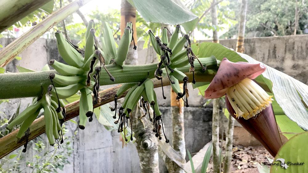 プーケット 種ありバナナ